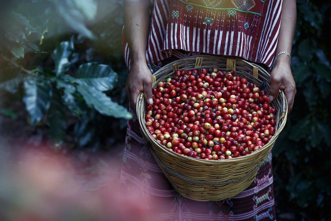 Cafenea Victoriei sector 1 - Cafea, boabe, culegator cu cos